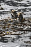Een halve seconde later waren de zeeotters verdwenen