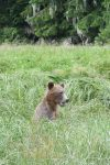 Grizzly nabij Knight Inlet